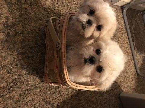 Shih Tzu Puppy For Sale In Plymouth Mi Adn 69299 On Puppyfinder Com Gender Male Age 12 Weeks Old Shihtzu Shih Tzu Puppy Puppies For Sale Shih Tzu