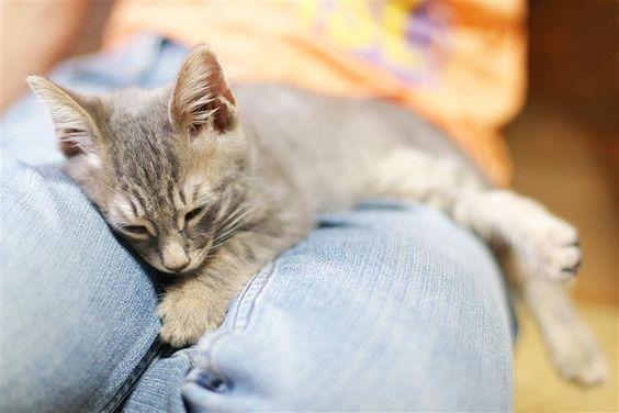 Se tiver um gato em casa sabe que o seu amigo de quatro patas adora roçar-se em tudo: cortinados, sofás e até as suas pernas.