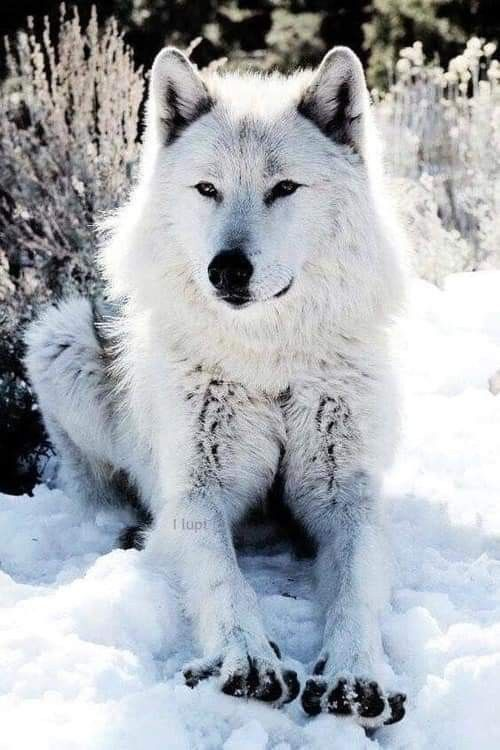 Epingle Par Pat Chouly Sur Mes Amis Les Loups En 2020 Loup Blanc Loup Decor Diy