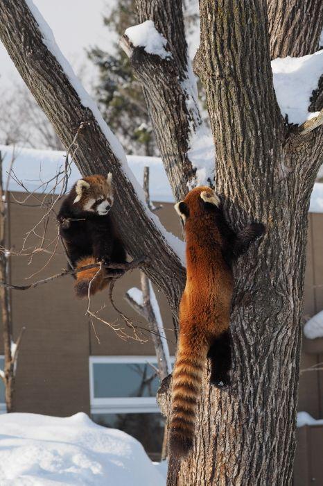 円山動物園 ホクトとキン Hokuto and Kin, Maruyama Zoo  Red pandas レッサーパンダ 小熊猫