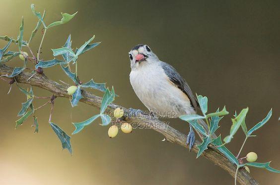 Agarita (Berberis trifoliolata) shrub berries attract birds.