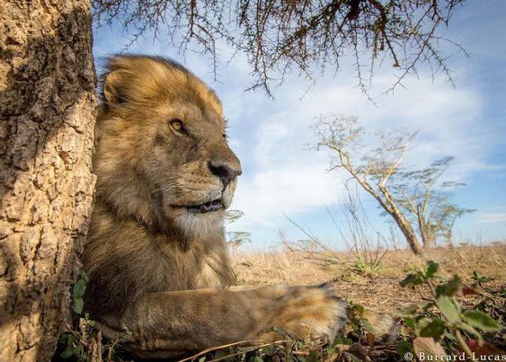 A handsome male lion photographed with #BeetleCam in the Serengeti.