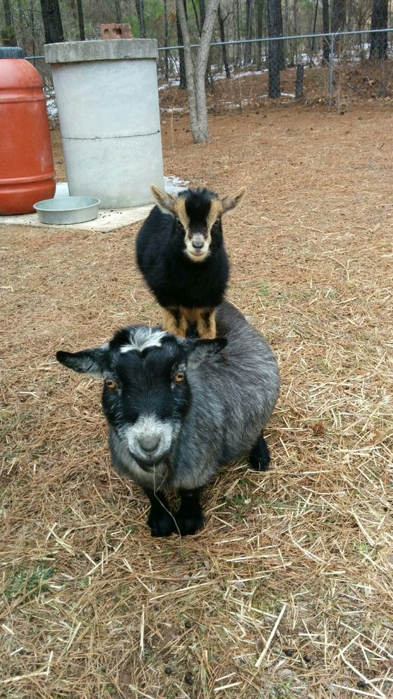Here is a goat on top of a goat. I don't know why, but this just makes me happy!