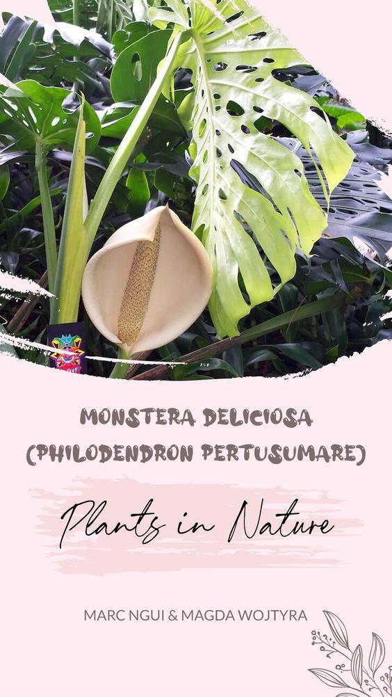 [Plants in Nature] Monstera deliciosa (Philodendron pertusumare) bản địa tại Mexico (Marc Ngui & Magda Wojtyra)