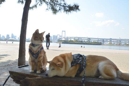 柴犬與花貓
