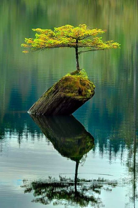 Natural bonsai tree growing on a log in the middle of a lake #BeautifulNature…