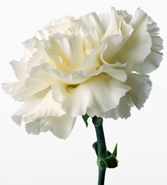 The White Carnation Is A Perennial Plant That Expands From 1 To 2 Feet Tall Description From Mycity Carnation Flower Pictures Carnation Flower White Carnation