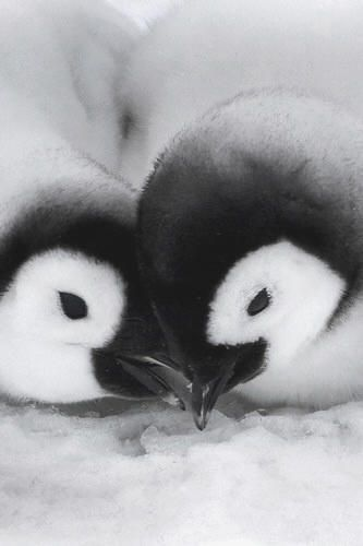 Baby Emperor Penguins<3