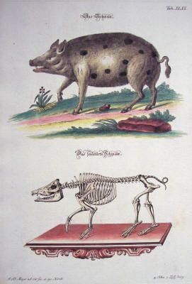 """Johann Daniel Meyer: """"Oriental Possum,"""" Hand-Colored Copperplate Engraving from the book Angenehmer Und Nutzlicher Zeit-Vertreib Mit Betrachtung Curioser ..."""