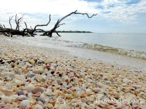 Shells pile on the beach of Cayo Costa, FL.  I need to see this beach!!