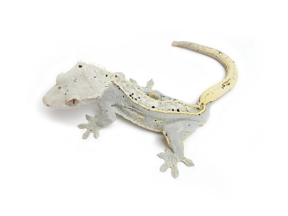 MoonGlow crestie. From the urban gecko. I want this beauty too!!