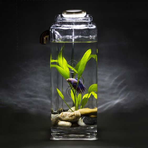 Fish betta and aquarium on pinterest for Fish that clean tanks