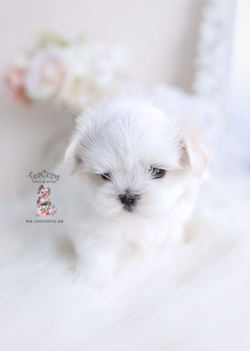 Maltese Puppy For Sale Teacup Puppies 141 In 2020 Maltese Puppy