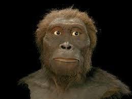 AUSTRALOPITHECUS AFARENSIS. Llegaron hace 3.6 millones de años. El género masculino medía unos 150cm y pesaba 45kg, mientras que la mujer medía 100cm y pesaba 30 Kg. Tenía los brazos largos y las piernas cortas, como el chimpancé, y caminaba erguido. Su cerebro medía alrededor de 430cm cúbicos. No se encontraron herramientas fabricadas por este espécimen.