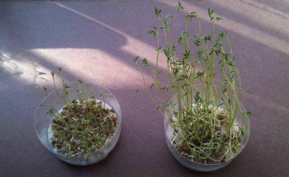 Cultiva tus propios brotes de lentejas para las ensaladas