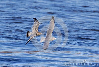 A gull with a fish in his beak and being chased by another gull. This image was taken at the Conowingo Dam in Darlington, MD,