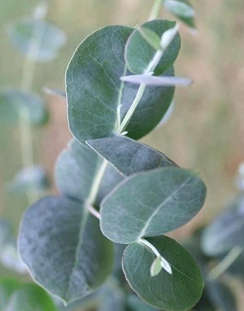 Eucalyptus Growing Indoors Plants Eucalyptus Tree Eucalyptus