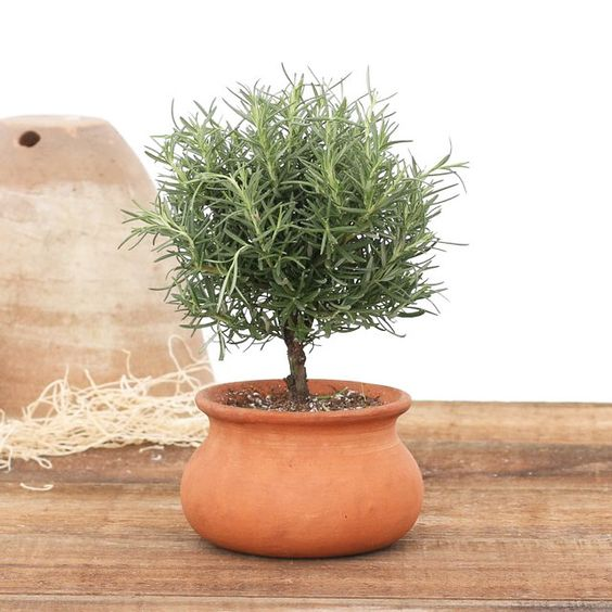 Maybe for the center pieces??? Rosemary Tree in Clay Pot | dotandbo.com