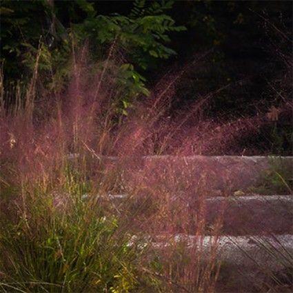 Muhlenbergia reverchonii 'Undaunted' PP - Hardy Ornamental Grasses - Ornamental Grasses - Avant Gardens Nursery & Design
