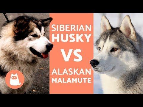 Husky Vs Alaska Differences Between Siberian Husky And Alaskan
