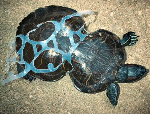 Biodegradable Six Pack Rings Take The Onus Off Consumers While Saving Animals Save Our Oceans Turtle Biodegradable Products