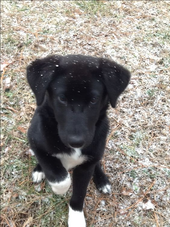 Black Lab Border Collie mix.  I have one and she is the best dog ever!  I wouldn't want any other breed of dog!