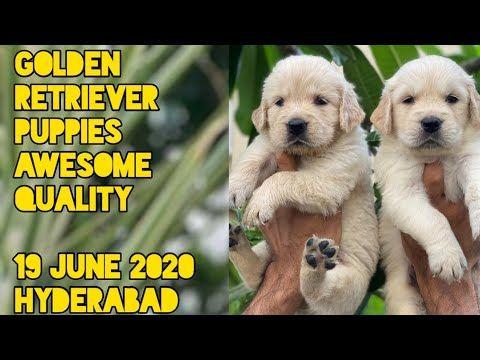 Golden Retrievers Youtube In 2020 Retriever Puppy Golden Retriever Puppies