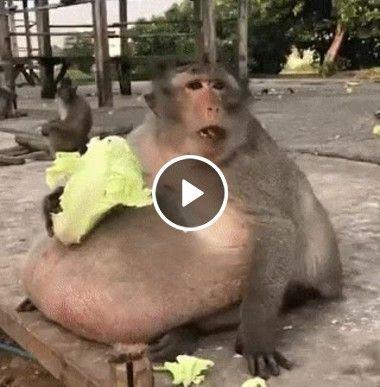 esse macaco precisa de uma dieta urgente
