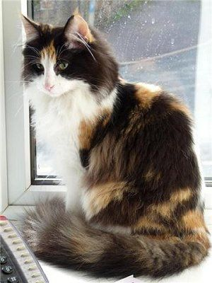 Norwegian Forest Cat ~ this natural breed is adapted to a very cold climate, with top coat of glossy, long, water-shedding hair.