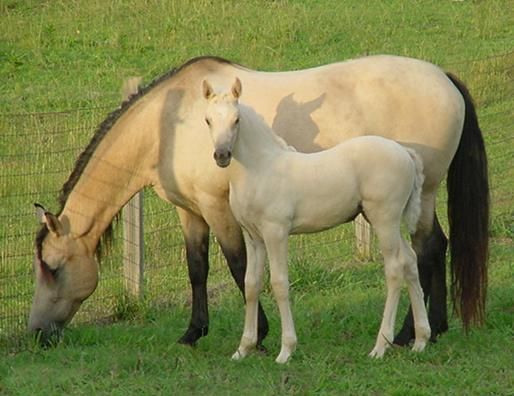 Morgan Colors- Buckskin Morgan Horses:
