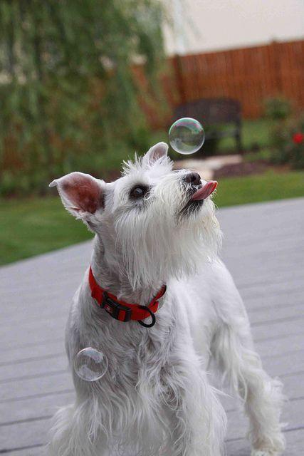 Miniature Schnauzer chasing bubbles