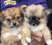Puppy Shack Puppies For Sale Brisbane Queensland Beagle