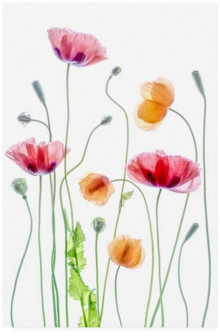 Trademark Global Mandy Disher Poppies Orange And Pink Canvas Art