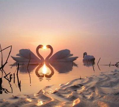 swan of Love