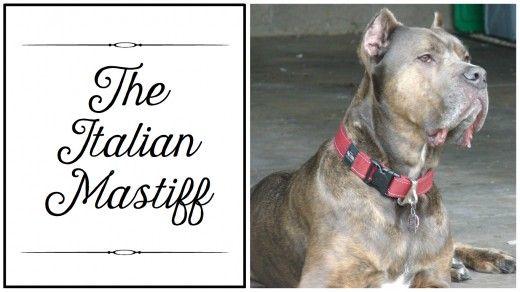 Italian Mastiff, also known as Cane Corso