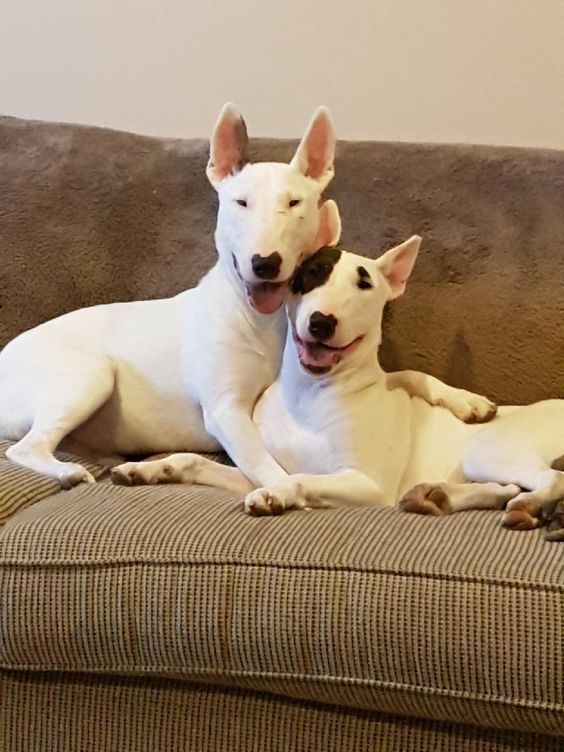 12 English Bull Terriers That Love To Hug The Paws English Bull Terriers Bull Terrier English Bull