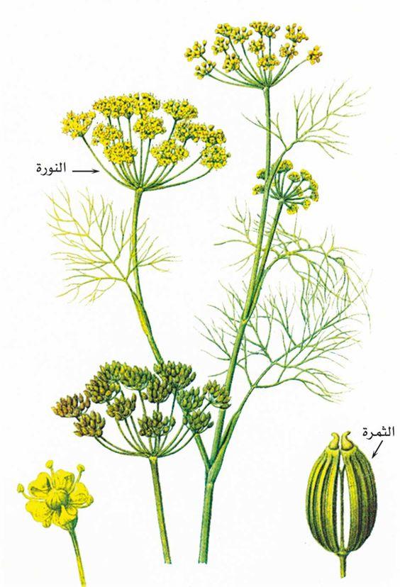 مراحل نمو النبات العوامل المؤثرة على النمو النمط الوراثي للنبات يؤثر على النمو بالمثل على عقلية النمو عند الانسان يكون تدريجيا وخطو Plants Flowers Media