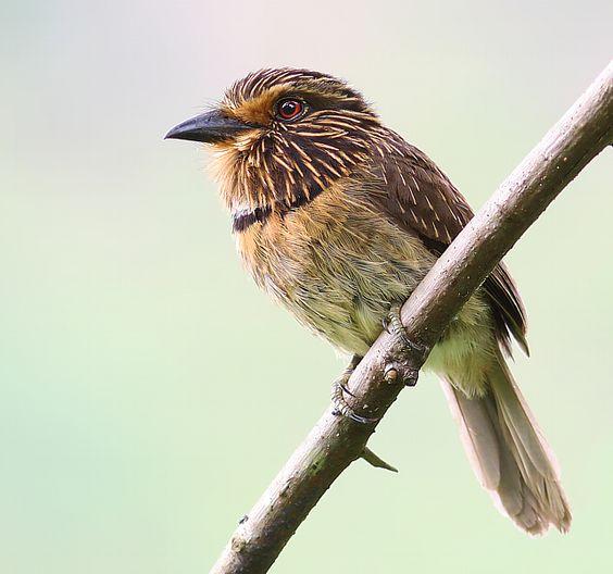 Foto barbudo-rajado (Malacoptila striata) por Daniel Mello