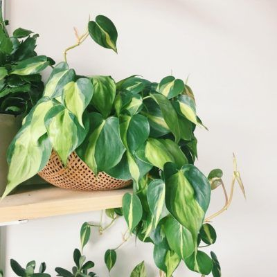 Buy Philodendron Brasil Online | Free Shipping Over $99.99