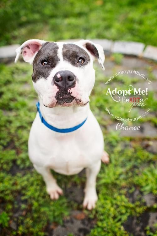 Chance is an adoptable Pit Bull Terrier searching for a forever family near…