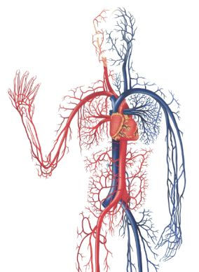 heart circulation and gas excange Aqa biology as unit 1: the lungs/ the heart/ diseases  41 structure of the human gas-exchange  steep concentration gradient due to blood circulation and.