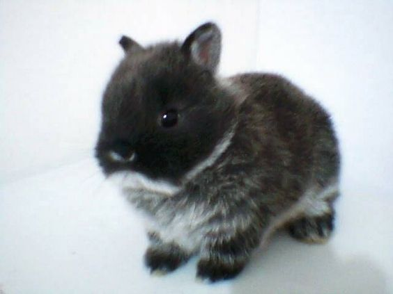 dwarf rabbits   Bunny Rabbits   Pinterest   Chang'e 3, Too ...