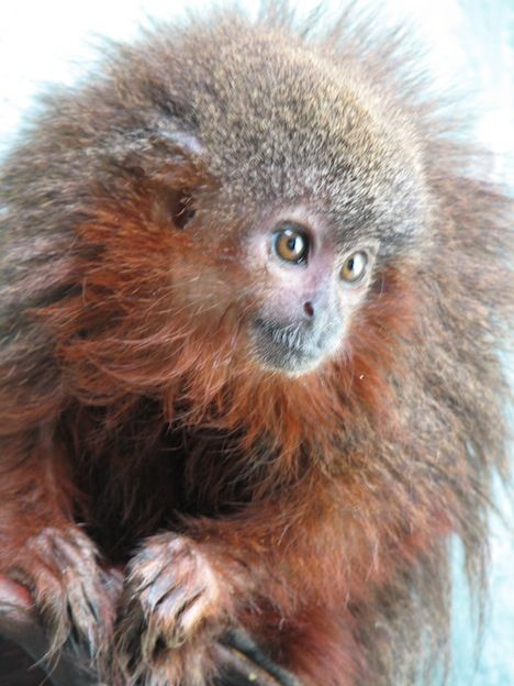 Scientists Discover New Bearded Monkey