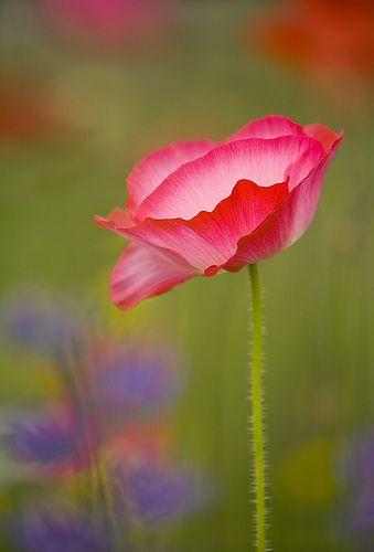 Poppy Love coquelicot