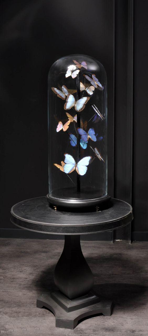 Objet de curiosité-Blue morpho butterflies under glass -★- black