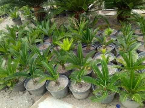 28 Bunga Mawar Jambe Videos Matching Tanaman Sikas Mawar Jambe Harga Terjangkau Download Bibit Pohon Sikas Mawar Jambe Download 3 B Di 2020 Bunga Tanaman Mawar