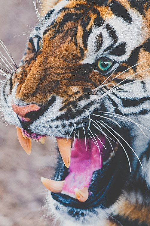 Absolutely love tigers