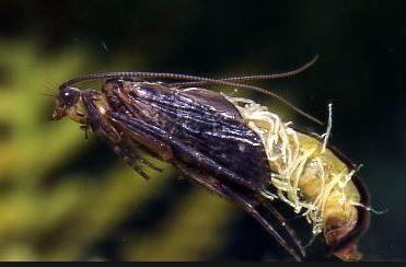Caddis pupa fly fishing entomology pinterest the o for Fly fishing entomology
