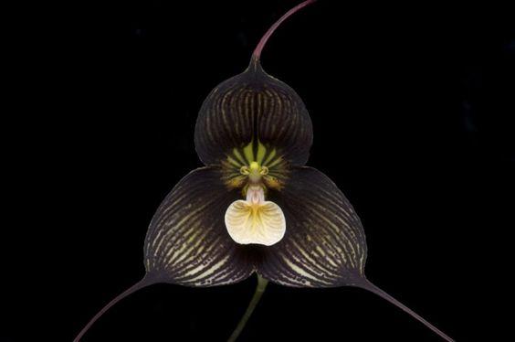 """Orquídea drácula. Drácula es un género con más de 118 especies de orquídeas. Son de orígen estadounidense. En latín,  Drácula significa """"Pequeño dragón"""". Este nombre hace referencia al extraño aspecto que presenta las dos largas espuelas que salen de los sépalos la cual muchas pueden tener formas parecidas a la cara de un mono."""