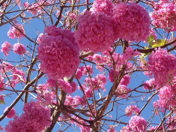 Florada dos Ipês no campus Samambaia, Goiânia, Goiás. Flores maravilhosas que deixam tudo mais bonito.  Amo!  Foto de Gilka Martins.